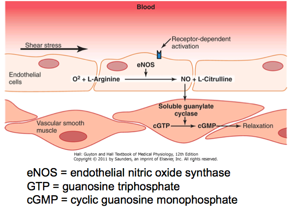 vascular endothelial cells synthesise nitric oxide from l arginine Vascular dysfunction in stroke and cadasil the endothelial isoform, endothelium nitric oxide synthase endothelial cells synthesise no at a basal level.