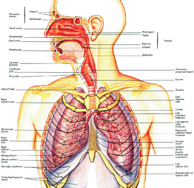 Shlecturesupper Respiratory Tract Anatomy Studyingmed