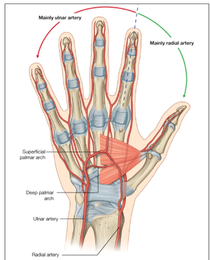 HMA/Lectures/Anatomy of the peripheral vasculature ...